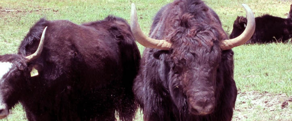 yaks_cooling